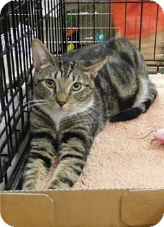 Domestic Shorthair Cat for adoption in Hallandale, Florida - Mable