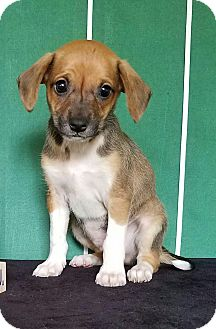 Dachshund/Beagle Mix Puppy for adoption in Pluckemin, New Jersey - Drew