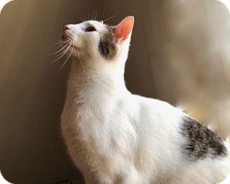 Domestic Shorthair Cat for adoption in Lambertville, New Jersey - Quinn