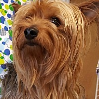 Yorkie, Yorkshire Terrier Dog for adoption in Lutherville, Maryland - Lulu