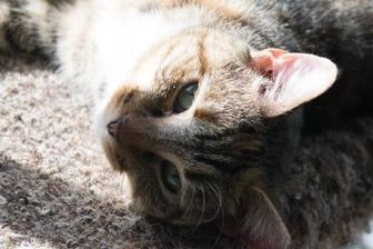 Domestic Shorthair/Domestic Shorthair Mix Cat for adoption in Richmond, Virginia - Jelly