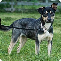 Husky Mix Dog for adoption in Sussex, New Jersey - NITRO