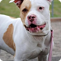 Pit Bull Terrier Dog for adoption in Fargo, North Dakota - Romeo