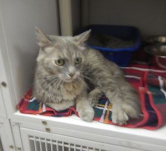 Domestic Mediumhair/Domestic Shorthair Mix Cat for adoption in Erie, Pennsylvania - 9855 Zella