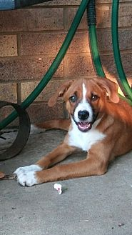 Collie/Shepherd (Unknown Type) Mix Puppy for adoption in oklahoma city, Oklahoma - Laney