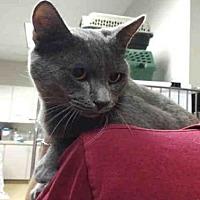 Adopt A Pet :: ROSS - Raleigh, NC
