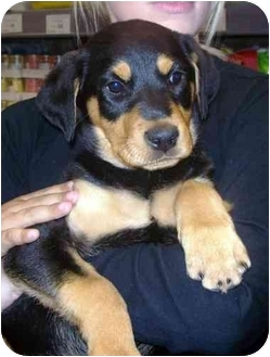 Doberman Pinscher/Rottweiler Mix Puppy for adoption in West Los Angeles, California - Latika