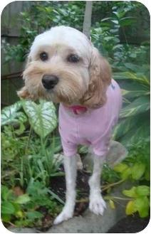 Cockapoo Dog for adoption in Sugarland, Texas - Princess