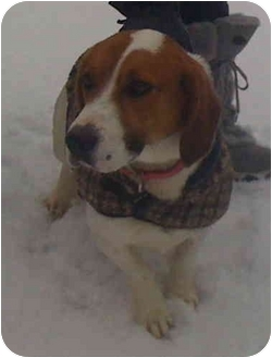 Beagle/Basset Hound Mix Dog for adoption in Loudonville, New York - Goliath