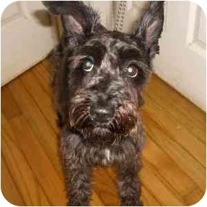 Schnauzer (Miniature) Dog for adoption in Redondo Beach, California - Mina