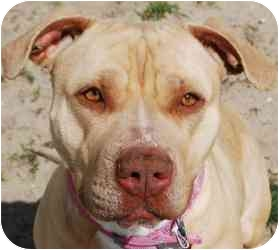 American Bulldog/American Pit Bull Terrier Mix Dog for adoption in Vineland, New Jersey - Kallista