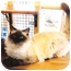 Photo 4 - Ragdoll Cat for adoption in Davis, California - Gabriel