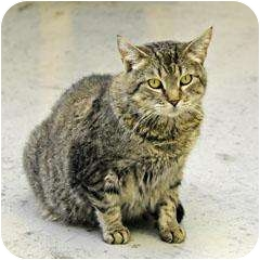 Domestic Shorthair Cat for adoption in Blairsville, Georgia - Tommy Girl