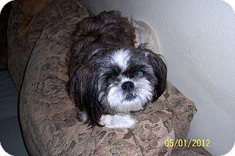 Shih Tzu Dog for adoption in Washburn, Missouri - Izzie