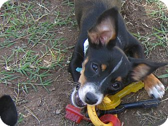 Rat Terrier Puppy for adoption in Irvine, California - APPLE