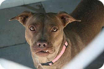 American Pit Bull Terrier Mix Dog for adoption in Anderson, Indiana - Sue