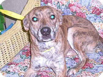 """Collie/Greyhound Mix Dog for adoption in New Castle, Pennsylvania - """"Tigerlilly """""""