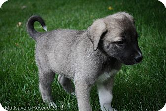 Keeshond Mix Puppy for adoption in Broomfield, Colorado - Kourtney