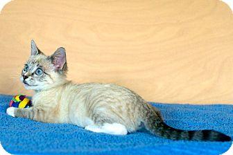 Siamese Kitten for adoption in Houston, Texas - Lily