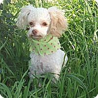 Adopt A Pet :: ** LITTLE MISS** - Stockton, CA