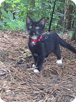 Domestic Shorthair Kitten for adoption in Apex, North Carolina - Geo