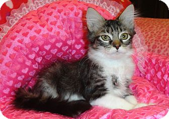 Domestic Mediumhair Kitten for adoption in Plano, Texas - GRETCHEN - SUPER SNUGGLER!!!