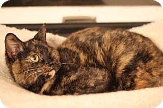 Domestic Shorthair Cat for adoption in Merrifield, Virginia - Amber