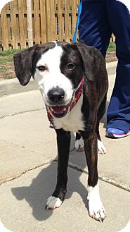 Spaniel (Unknown Type)/Hound (Unknown Type) Mix Puppy for adoption in Cleveland, Ohio - Dexter