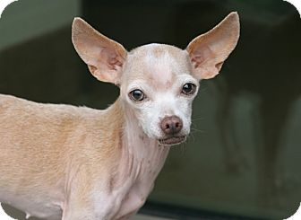 Chihuahua Mix Dog for adoption in Coronado, California - Pinky