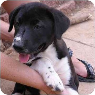 Dalmatian/Border Collie Mix Puppy for adoption in Brodheadsville, Pennsylvania - Hope's Dot