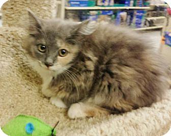 Domestic Mediumhair Kitten for adoption in Colonial Heights, Virginia - Georgia