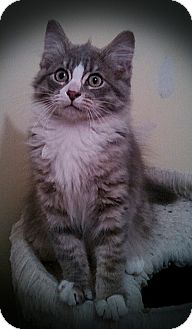 Maine Coon Kitten for adoption in Richmond, Virginia - Hona