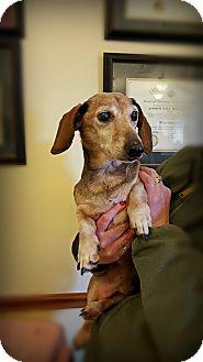 Dachshund Dog for adoption in Franklin, Indiana - Walter