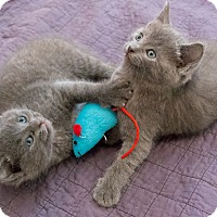 Adopt A Pet :: Sonoma and Simone - Chicago, IL