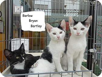 Domestic Shorthair Kitten for adoption in Elyria, Ohio - Bryan