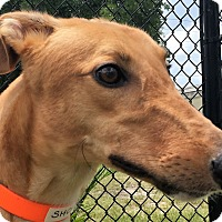 Adopt A Pet :: Hi Noon Shocker - Longwood, FL