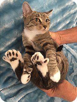 Domestic Shorthair Cat for adoption in Highland Park, New Jersey - Tootzy aka Hippity hop