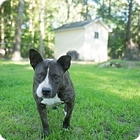 American Pit Bull Terrier Mix Dog for adoption in Tarboro, North Carolina - Adi