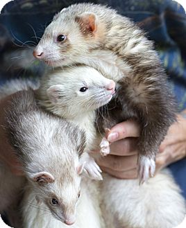 Ferret for adoption in Brandy Station, Virginia - BANDIT & ALIZ & MILO