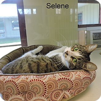 Domestic Shorthair Kitten for adoption in Slidell, Louisiana - Selene