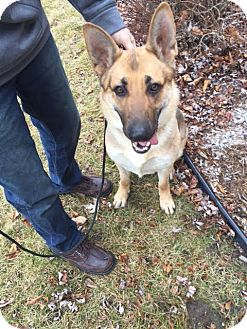 German Shepherd Dog Dog for adoption in Laingsburg, Michigan - Zoey