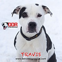 Adopt A Pet :: Travis - St. Clair Shores, MI