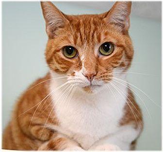 Domestic Shorthair Cat for adoption in Milford, Massachusetts - Hix