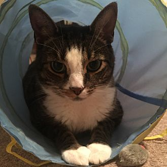Domestic Shorthair Cat for adoption in Toronto, Ontario - Parker *declawed*