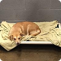 Adopt A Pet :: Violet - Minneapolis, MN