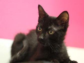 Domestic Shorthair/Domestic Shorthair Mix Cat for adoption in Walla Walla, Washington - Vinny