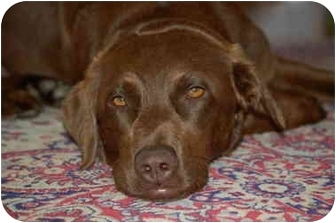 Labrador Retriever/Chesapeake Bay Retriever Mix Dog for adoption in Cumming, Georgia - Chessie Clare