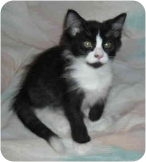 Domestic Mediumhair Kitten for adoption in North Highlands, California - Gilly