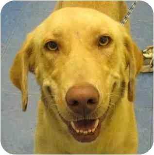 Labrador Retriever Dog for adoption in Largo, Florida - Sophia