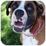 Photo 1 - Boxer Mix Dog for adoption in Sacramento, California - Shasta loving